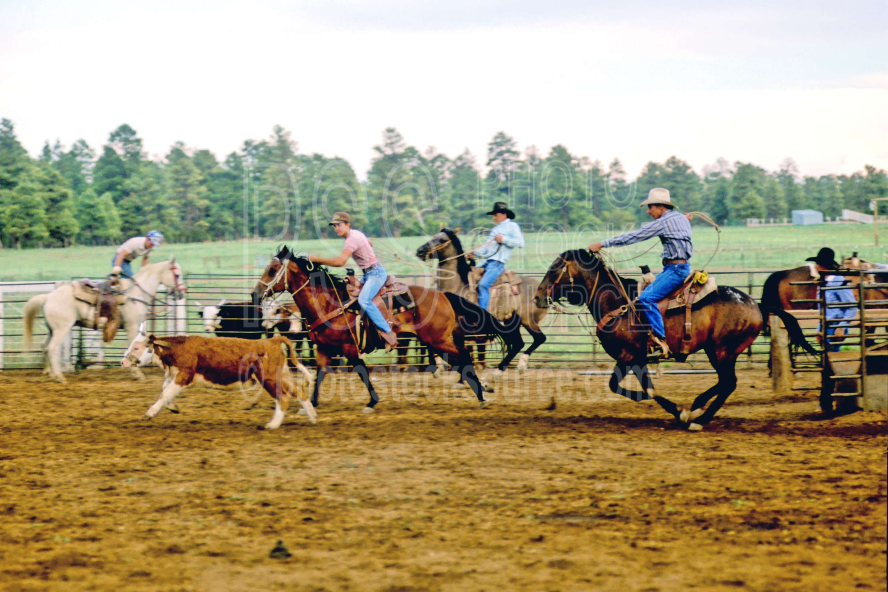 Team Roping,cattle,cows,cowboy,horse,ranch,roping,usas
