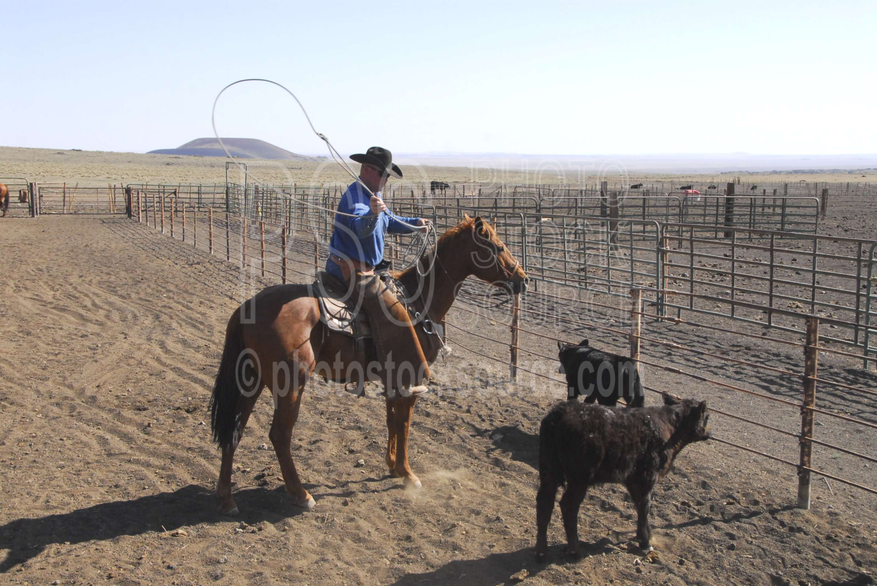 Cowboys Roping Cattle,cowboy,corral,rope,roping,cattle,rodin crater