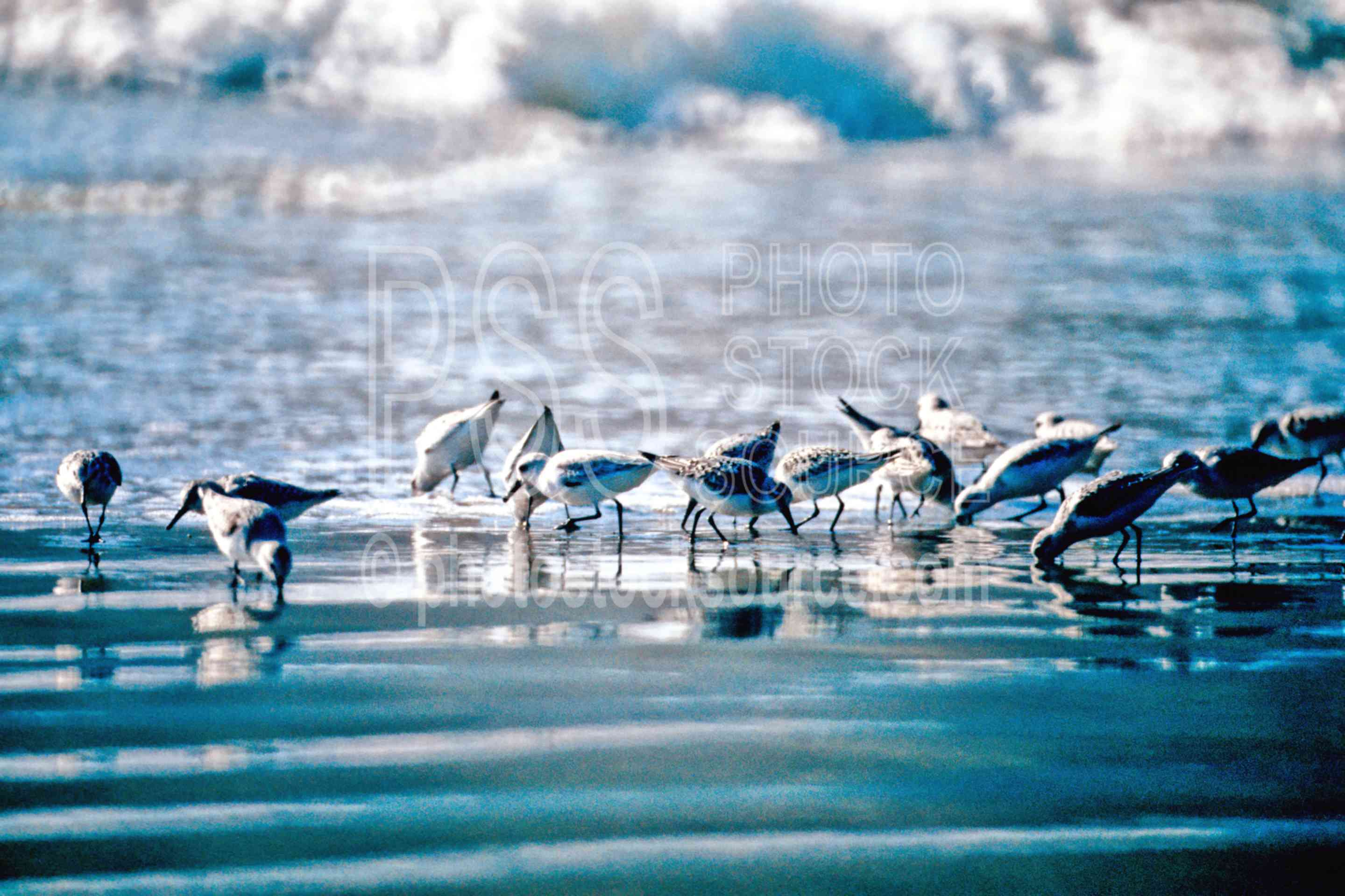 Sandpipers,flying,ocean,waves,usas,seascapes,animals