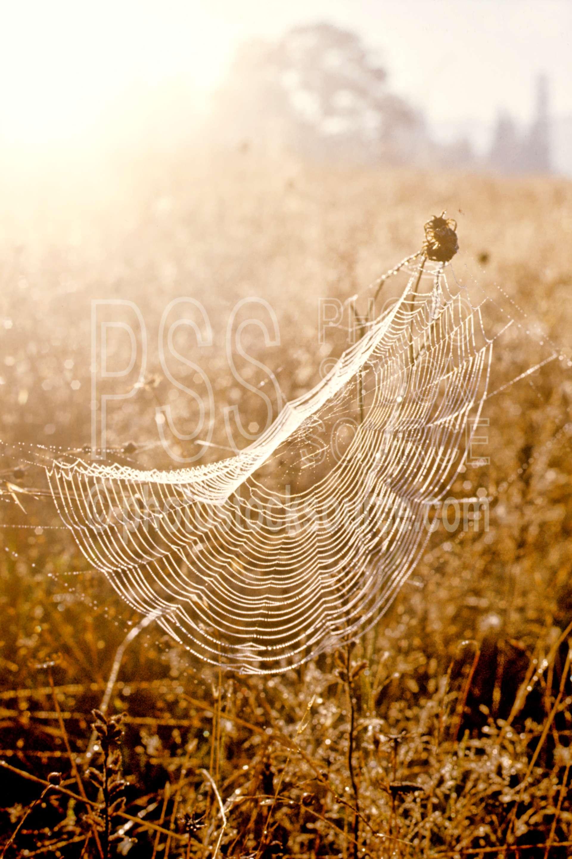 Spider Web with Dew,dews,morning,webs,spider,bugs,usas,animals