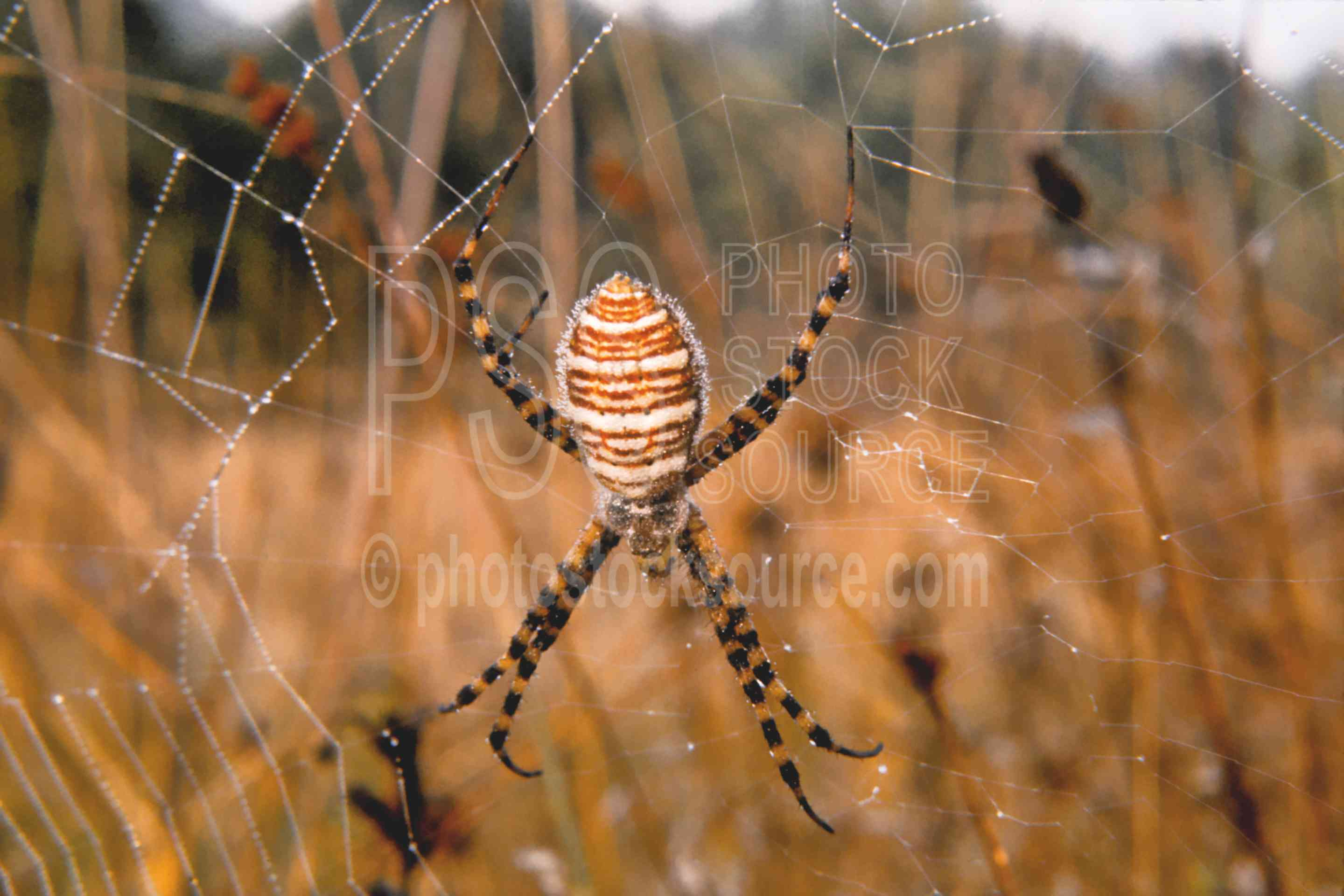 Garden Spider,morning,spider,webs,usas,animals