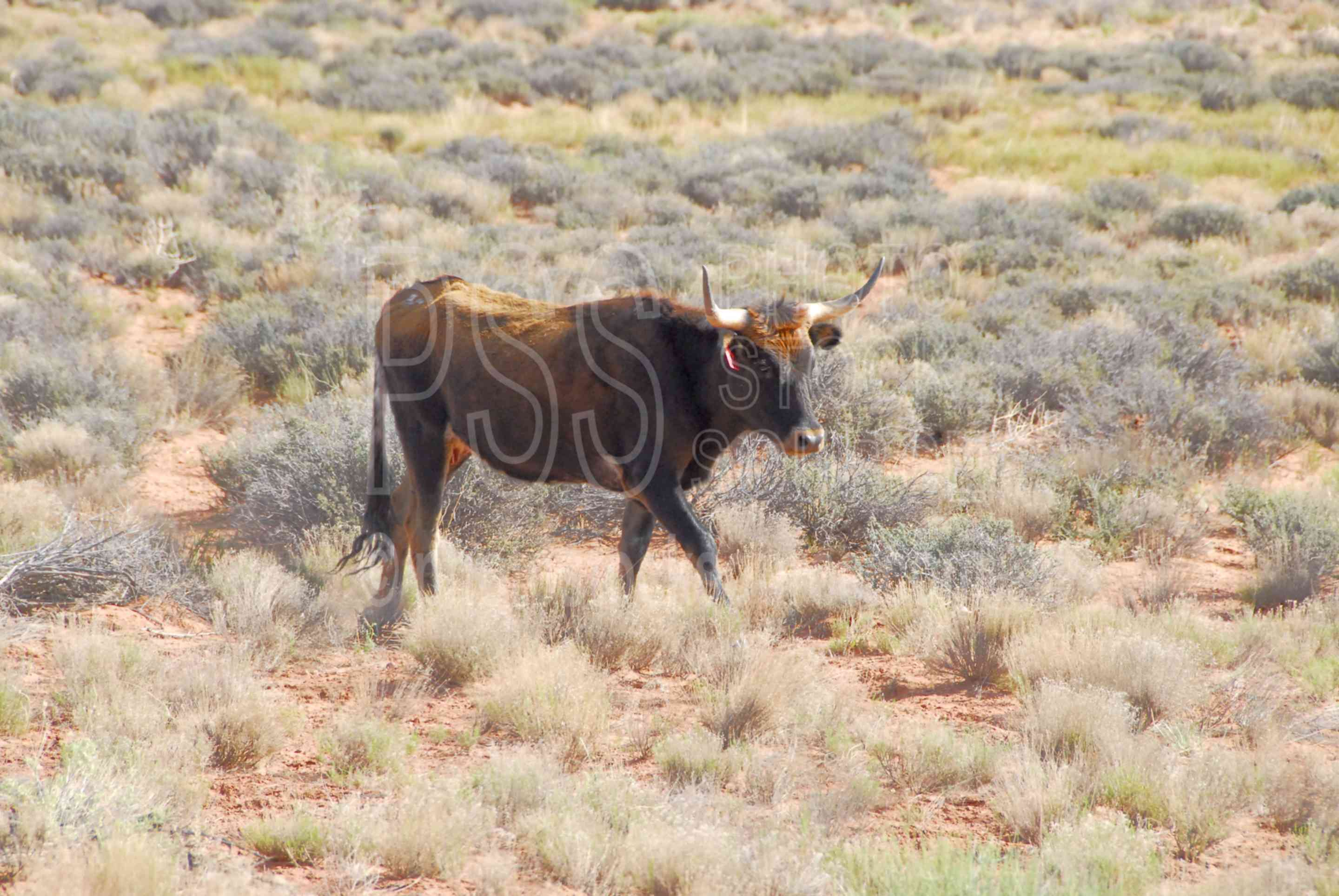 photo of long horn cow by photo stock source animal mexican hat