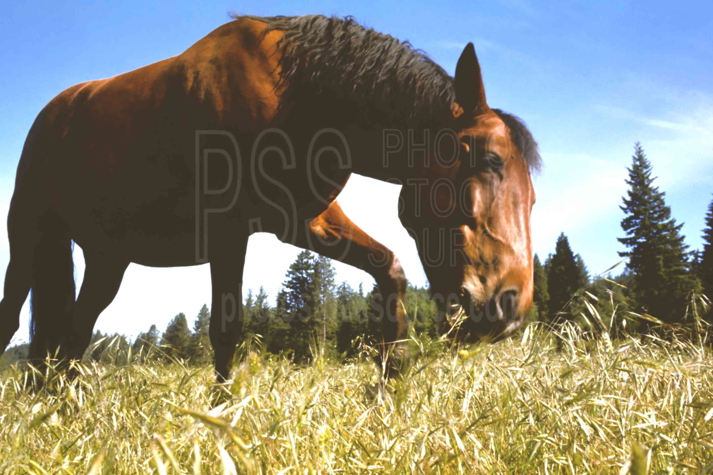 Horse Eating Grass,eating,field,grass,horse,usas,animals,farms