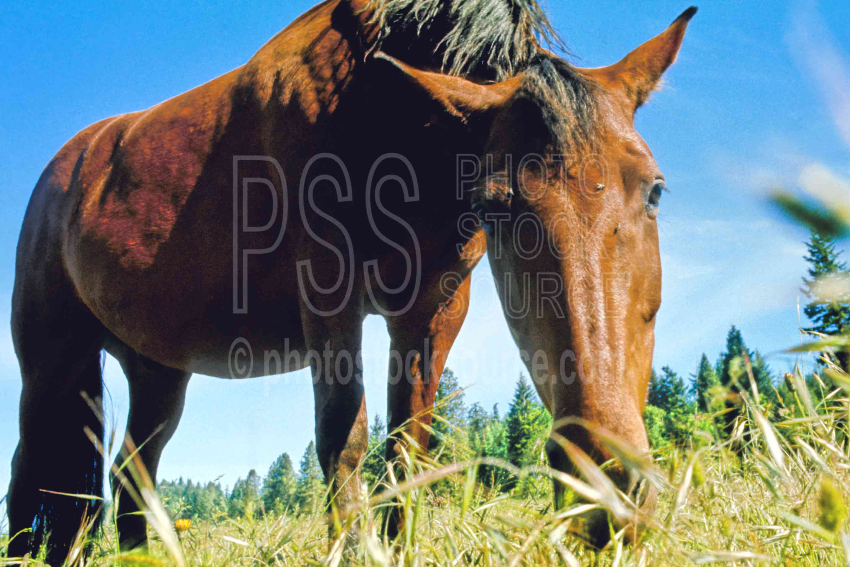 Horse Grazing,horse,grazing,animal,farm animal,usas,animals,farms