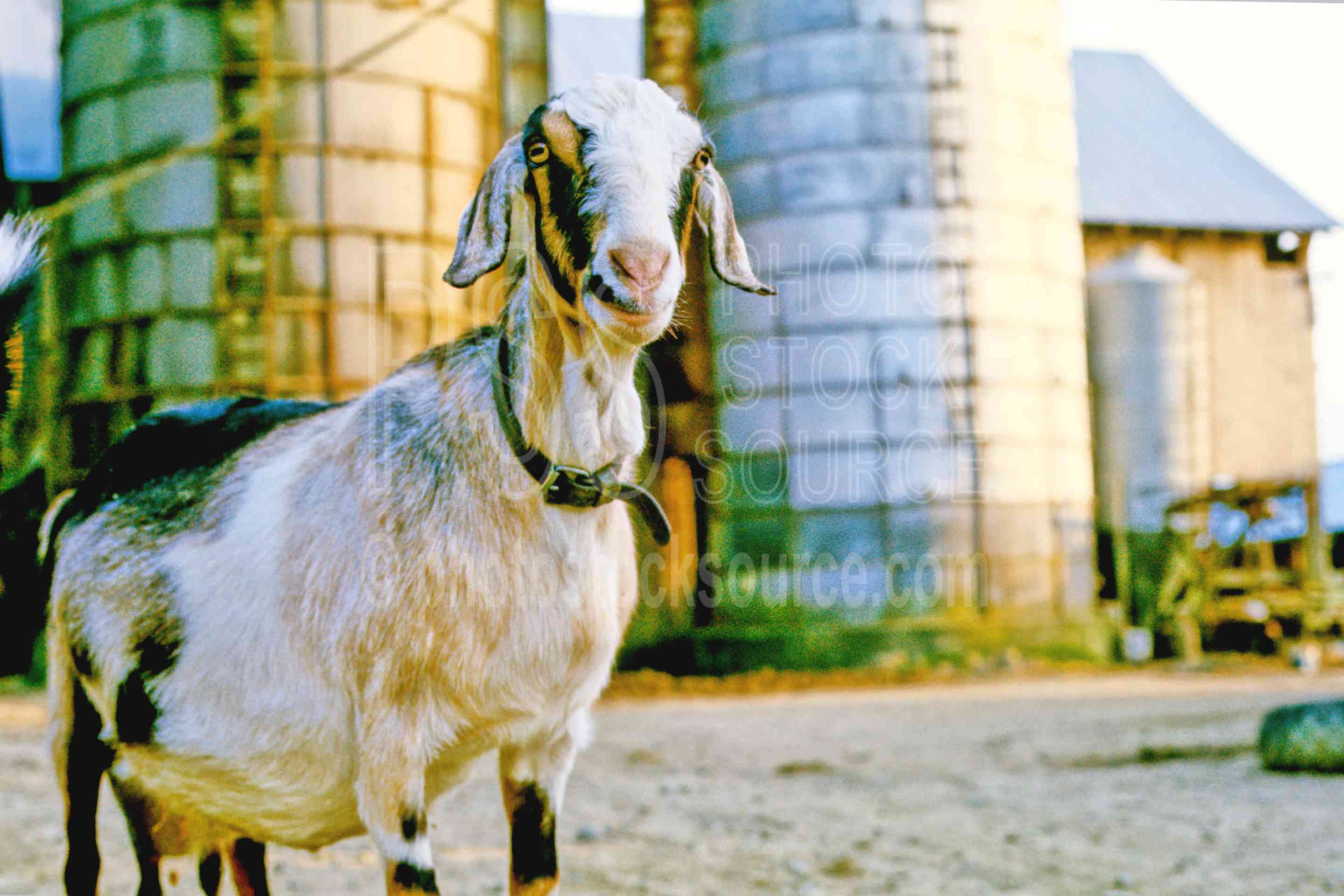 Farm Goat,goat,animal,farm animal,usas,animals,farms