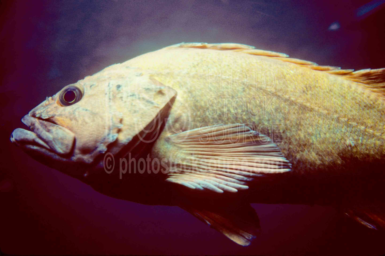 Sea Bass,bass,usas,animals