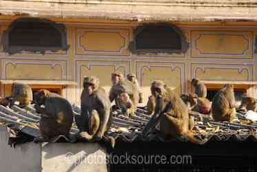 Photo of Rhesus Monkeys