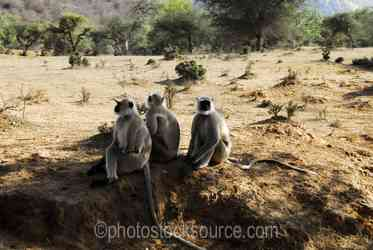 Photo of Hanuman Langurs