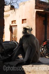 Langur Monkey - A hanuman langur monkey at the entrance to the fortress of Ranthambore, in what is now Ranthambore National Park, was founded in 944 by the Chauhan (MEENA) Rajputs.The fortress commanded a strategic location, 700 feet above the surrounding plain