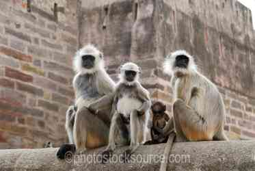 Langur Monkeys - Hanuman langur monkeys at the entrance to the fortress of Ranthambore, in what is now Ranthambore National Park, was founded in 944 by the Chauhan (MEENA) Rajputs.The fortress commanded a strategic location, 700 feet above the surrounding plain