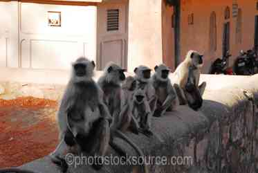 Langur Monkeys - People and Hanuman langur monkeys at the entrance to the fortress of Ranthambore, in what is now Ranthambore National Park, was founded in 944 by the Chauhan (MEENA) Rajputs.The fortress commanded a strategic location, 700 feet above the surrounding plain