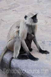 Photo of Langur Monkey