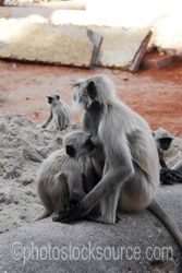 Photo of Langur Monkeys