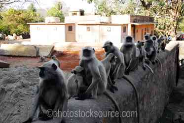Hanuman Langur Monkeys - Hanuman langur monkeys at the entrance to the fortress of Ranthambore, in what is now Ranthambore National Park, was founded in 944 by the Chauhan (MEENA) Rajputs.The fortress commanded a strategic location, 700 feet above the surrounding plain
