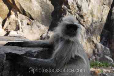 Photo of Hanuman Langur Monkey