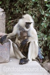 Hanuman Langur with Baby - A Hanuman langur(Semnopitheaus entellus) and her baby on the path inside Ranthambore Fort