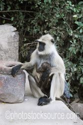 Photo of Hanuman Langur with Baby