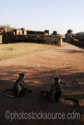 Hanuman Langur Monkeys - Hanuman langur monkeys (Semnopitheaus entellus) in the complex of temples at the top of Ranthambore Fort