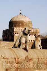 Monkeys and Temple - Hanuman langur monkeys by of the temples in the complex at the top of Ranthambore Fort