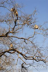Photo of Hanuman Langur Monkeys