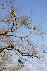 Hanuman Langur Monkeys - Hanuman langur monkeys in trees near at the entrance to Ranthambore Fort