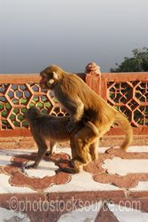 Photo of Copulating Monkeys