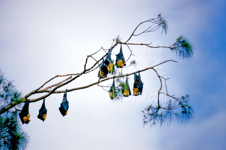 Fruit Bats,bats,flying,fruit bat,trees,animals