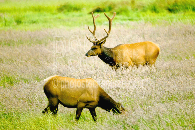 Roosevelt Elk,elks,usas,animals