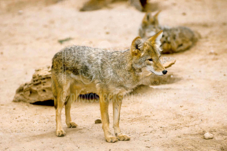 Coyote,usas,animals