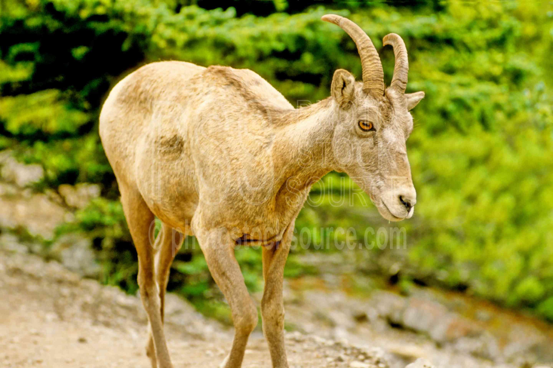 Mountain Sheep,sheep,animals