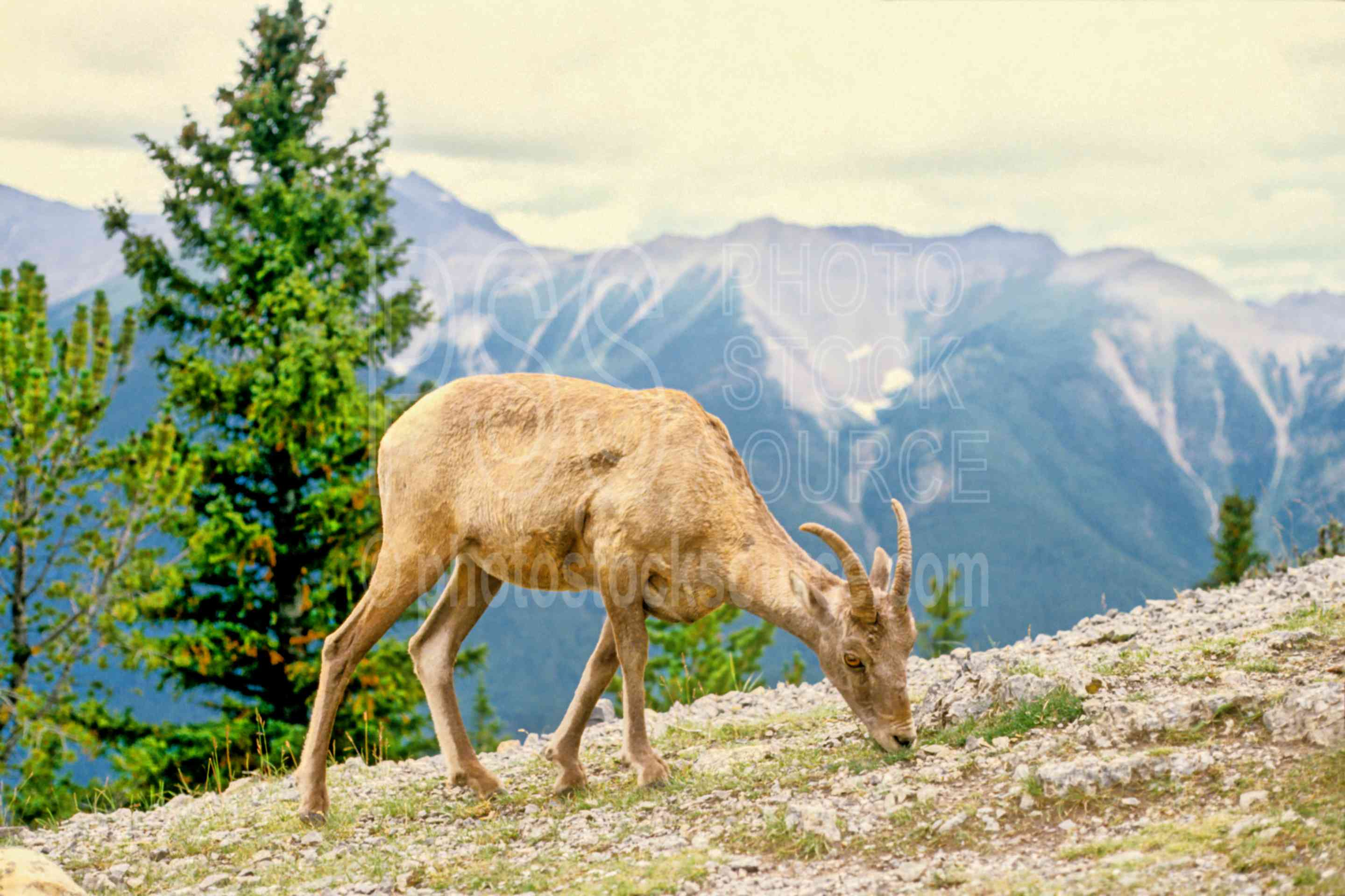 Mountain Sheep,sheep,animals