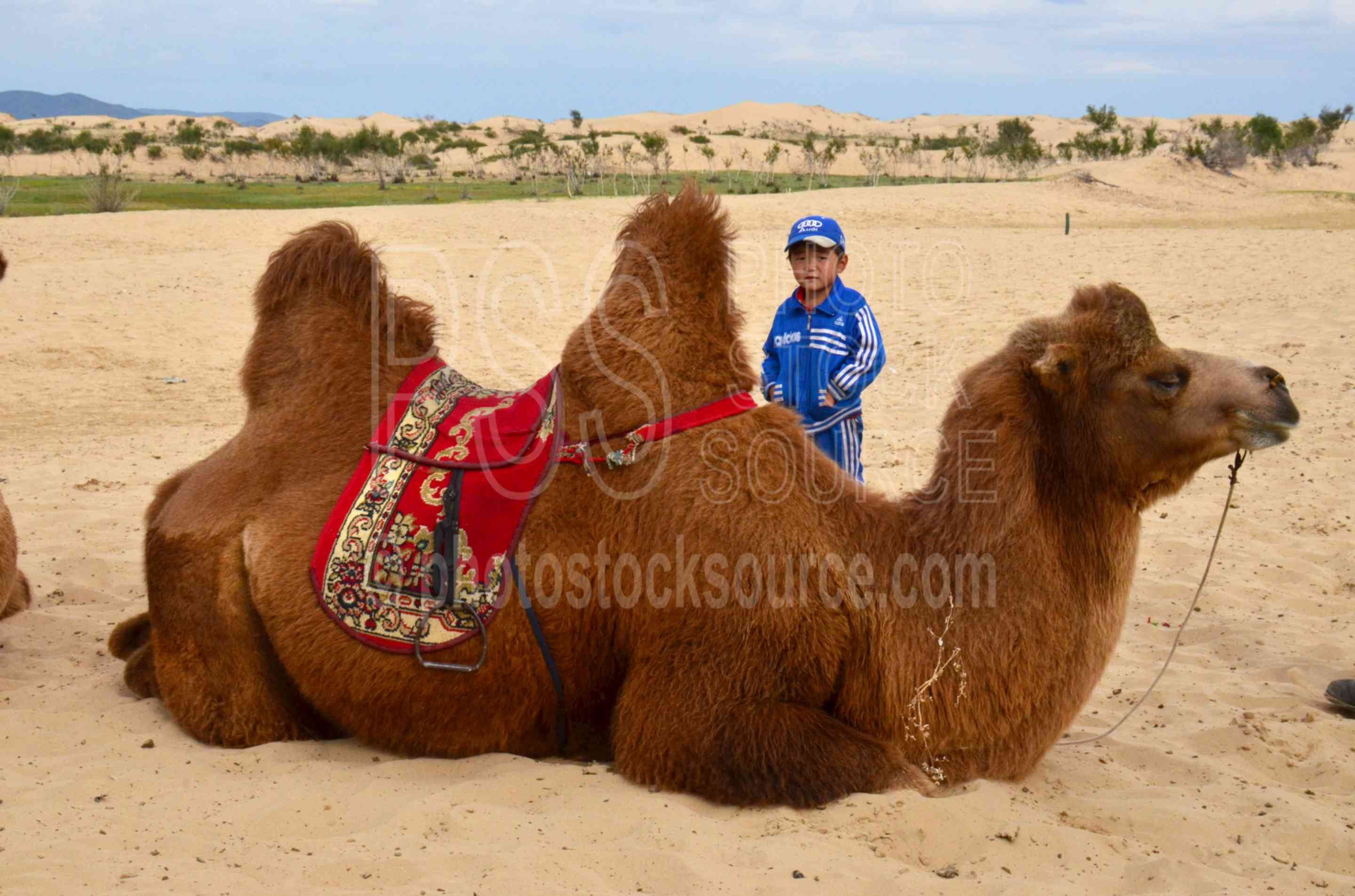 Boy with Camels,boy,camel,herd,riding,horses,sand,dunes
