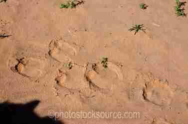Camel Tracks in Sand Dunes
