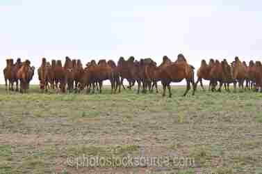 Herd of Bactrian Camels