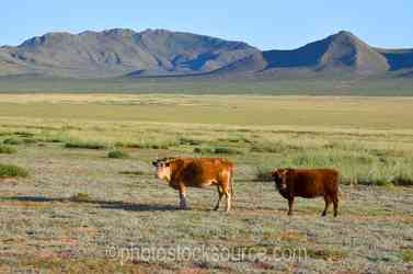 Cattle and Mongolian Mountains