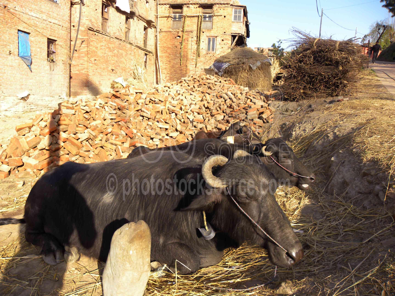Resting Water Buffalo,cattle,water buffalo,animals