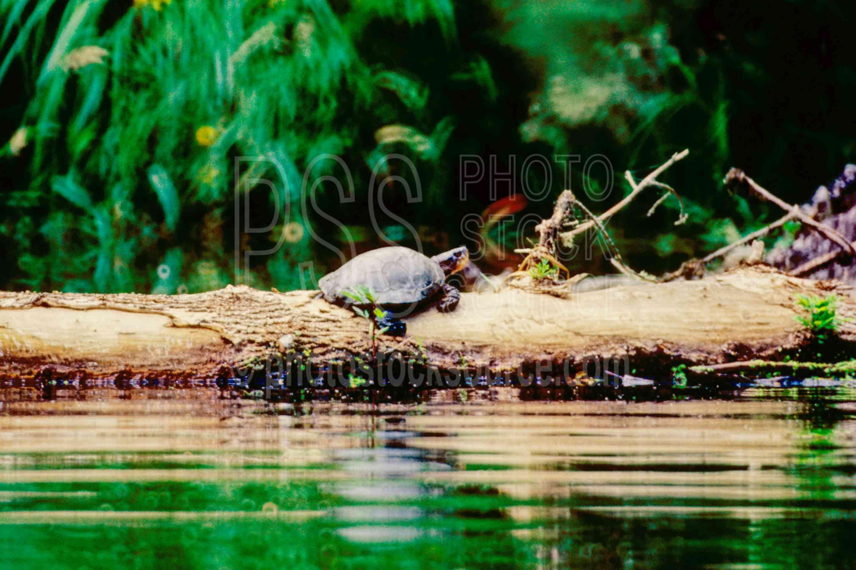 Western Pond Turtle,clemmys marmorata,turtle,usas,animals