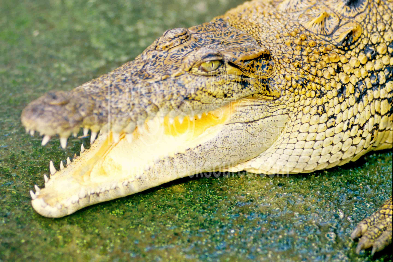 Crocodile,animals