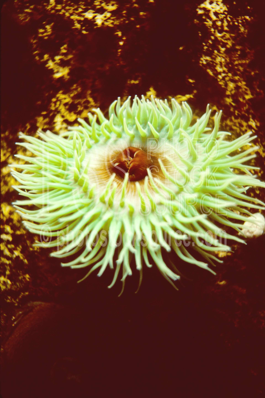 Sea Anemone,anemone,tidepool,usas,animals,seascapes,coast