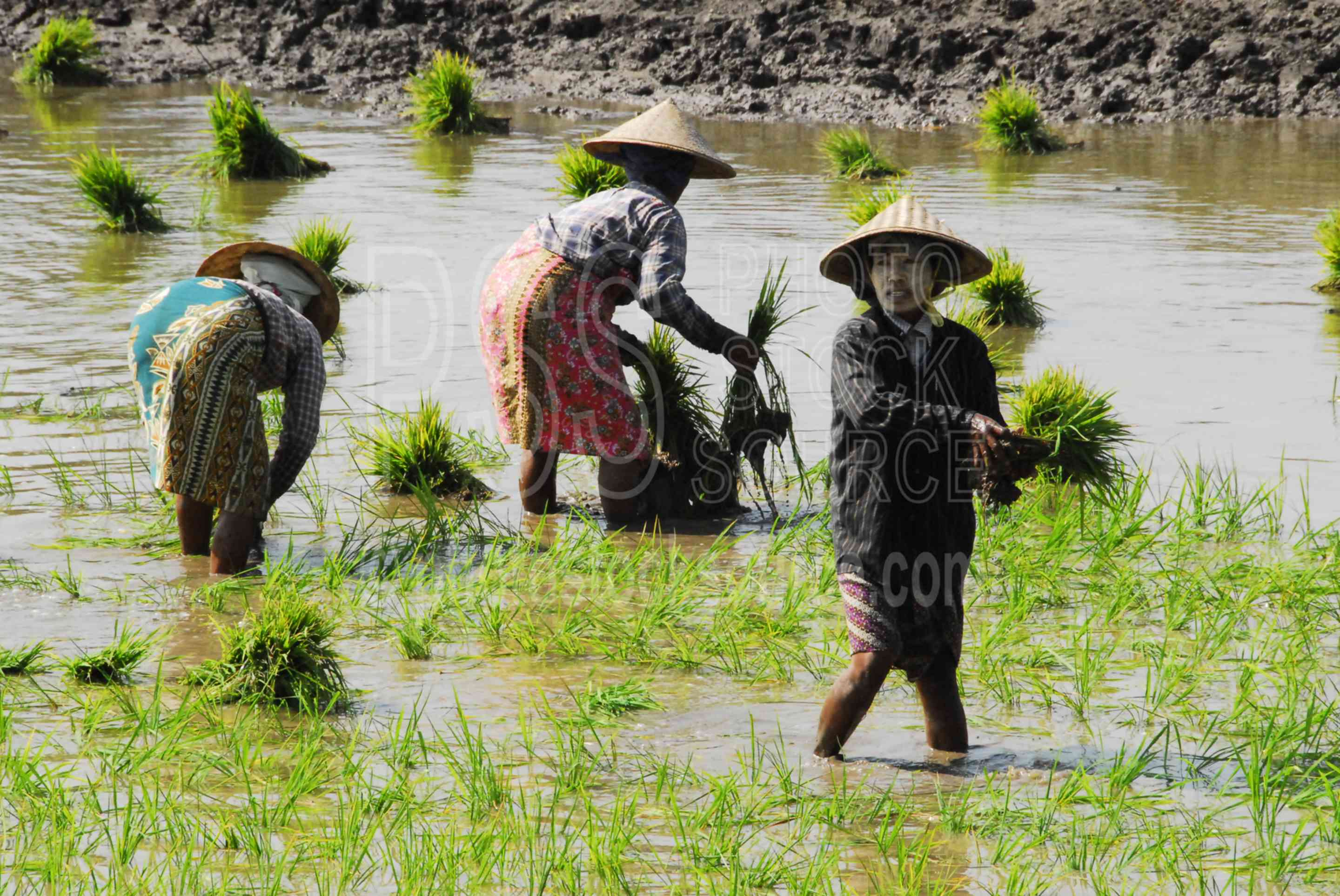 Rice Field Workers,myanmar,inwa,hathawaddy,ava,women,working,rice,fields,paddy,rice paddy,temple,people,thanaka