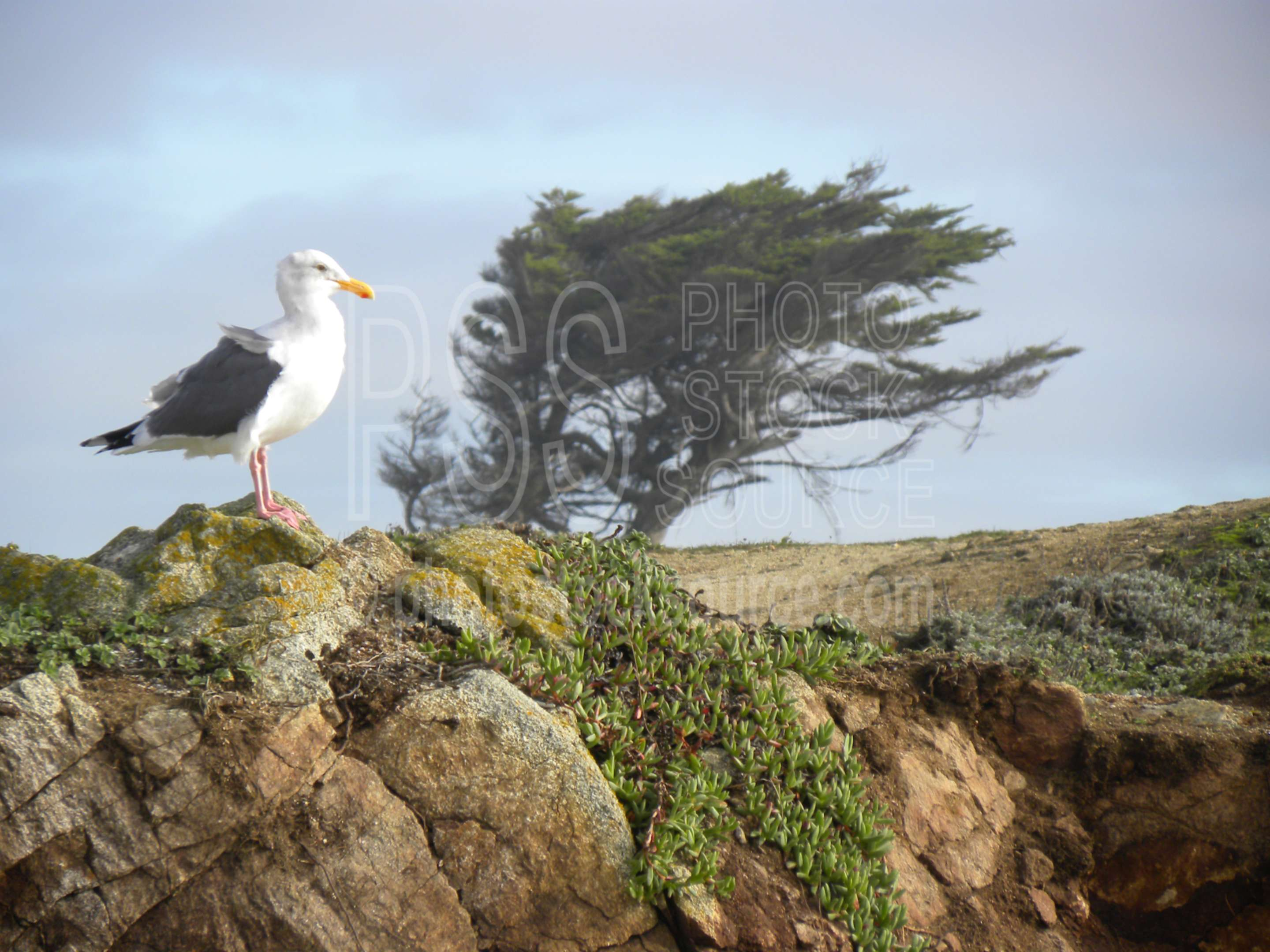Seagull and Cypress Tree,coast,coastline,gull,seagull,tree,cypress tree,wind swept,windy,nature