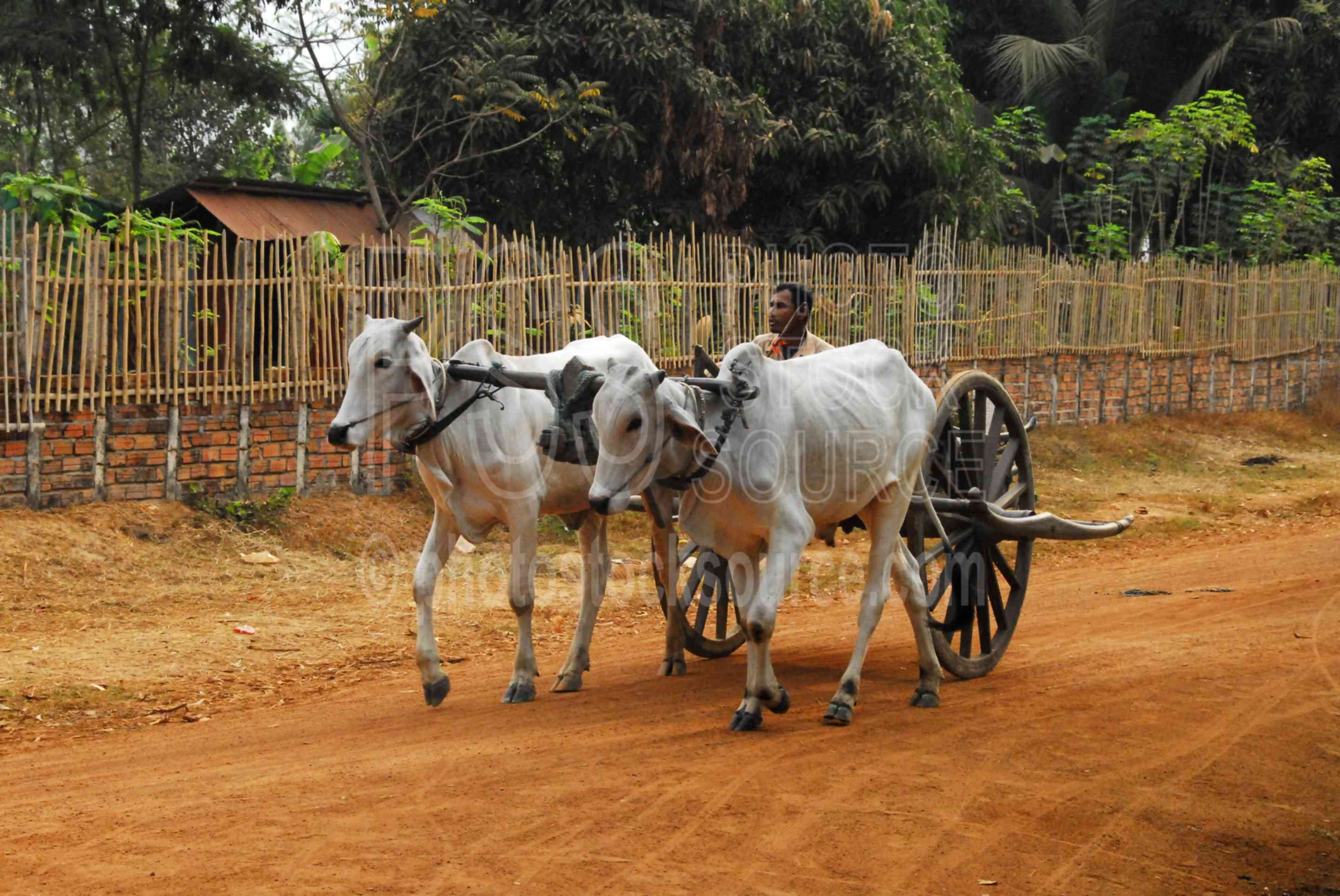 Animals Pulling Wagon : Photo of man driving ox cart by stock source animals