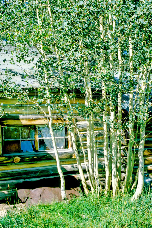 Cabin,aspen tree,tree,usas