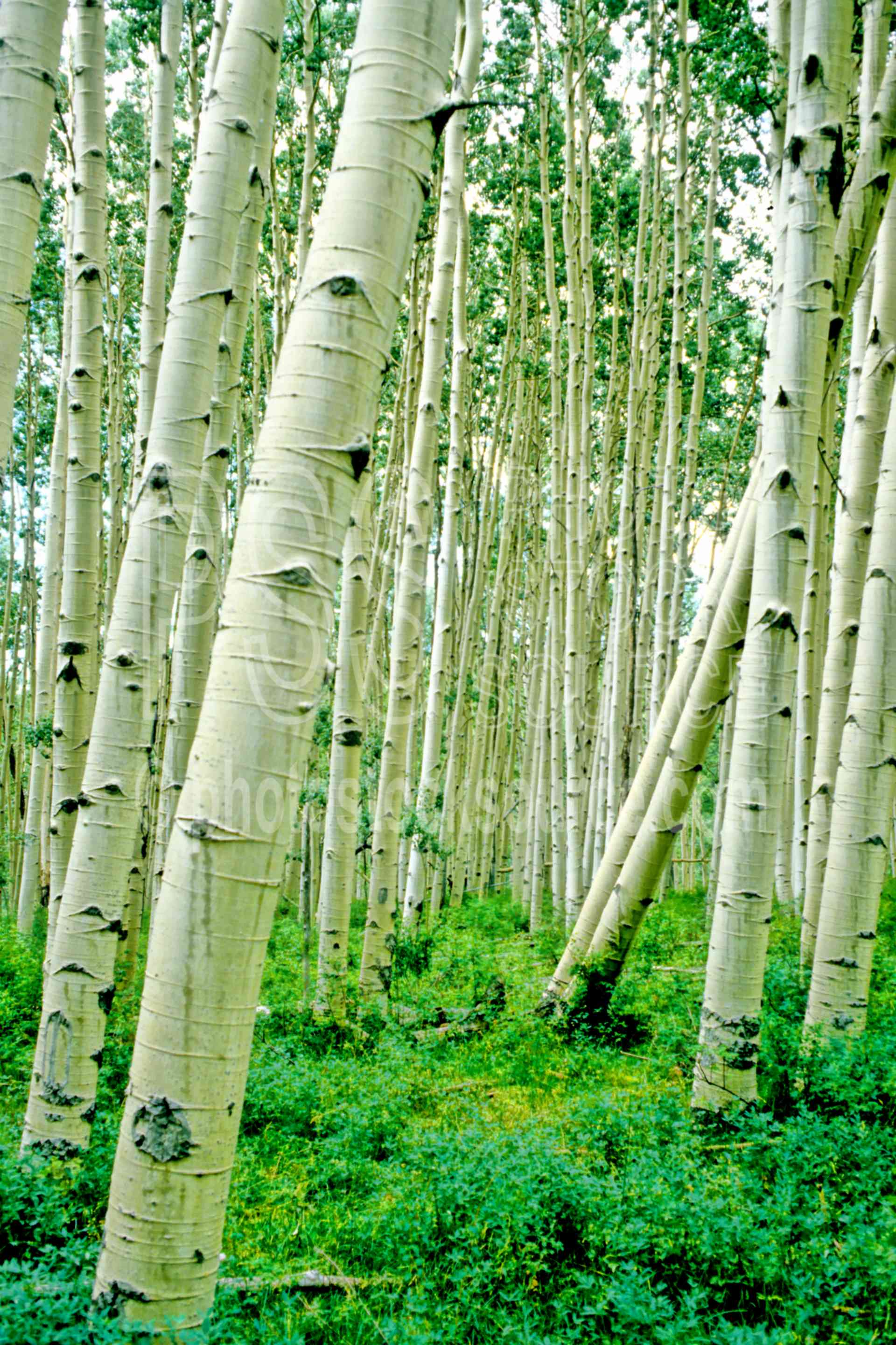 Aspen Trees,aspen tree,usas,nature