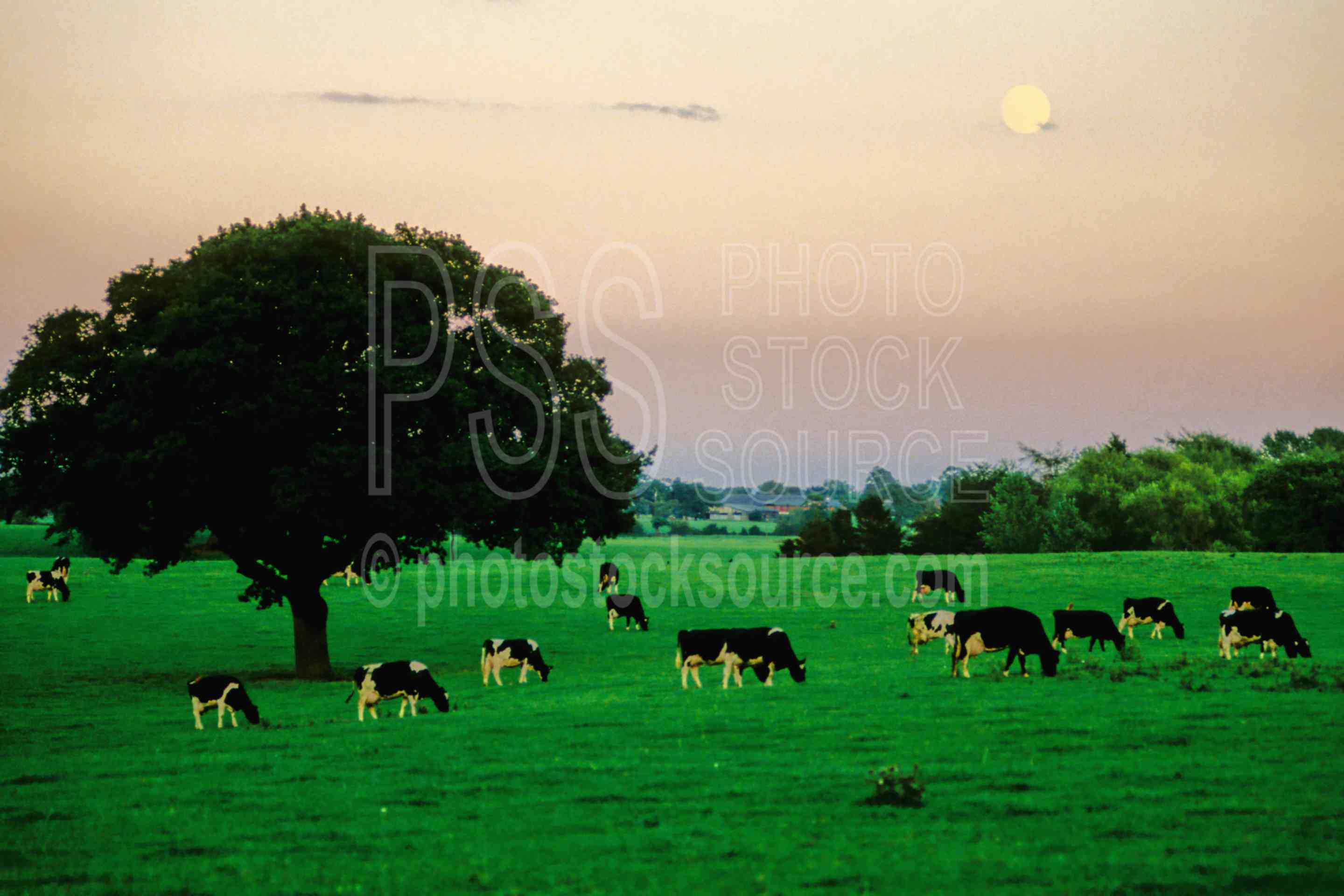 Dairy Cows and Moonrise,cows,dairy,europe,field,freisian,hostein,moon,moonrise,animals