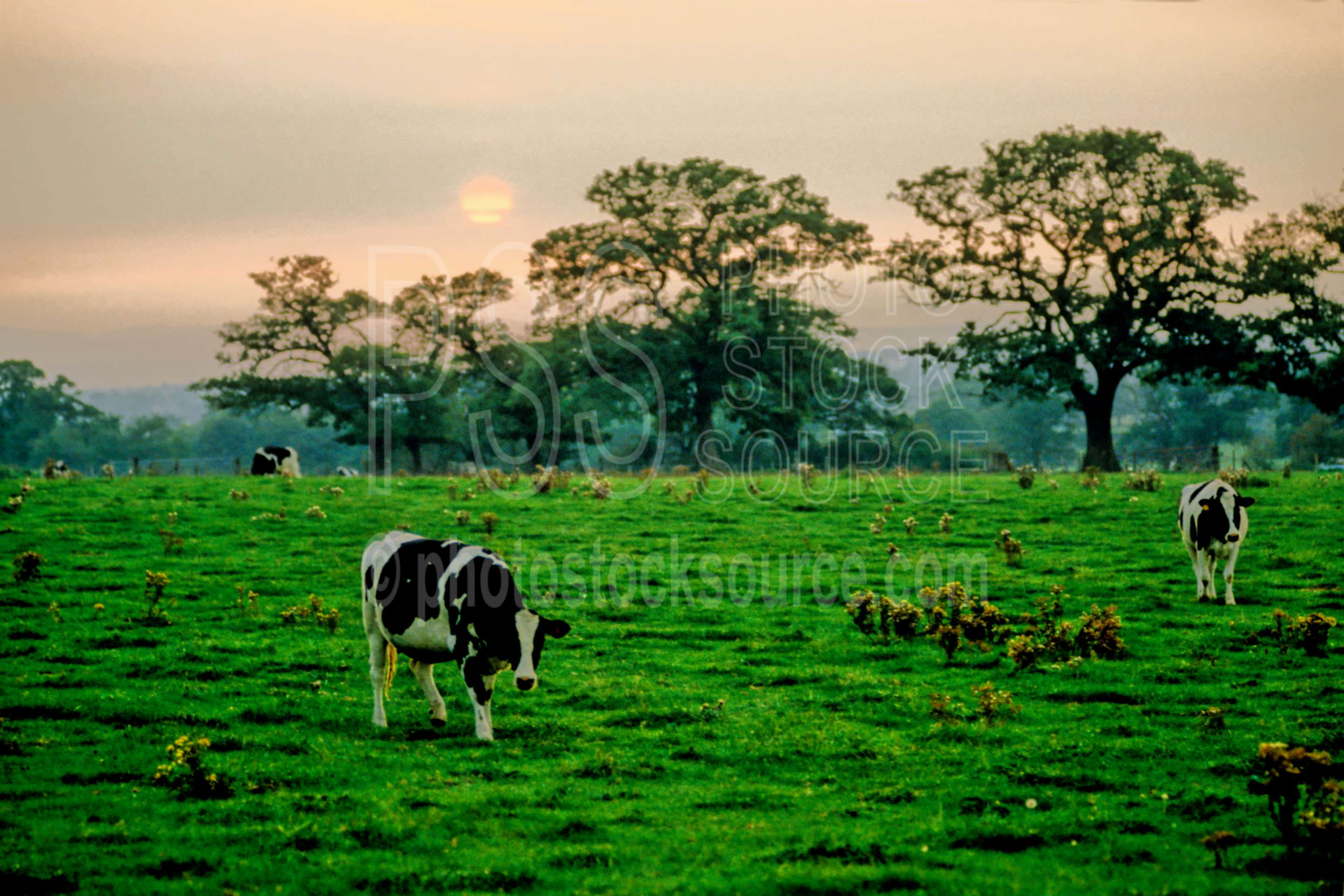 Cows at Sunset,cows,europe,field,sunset,animals