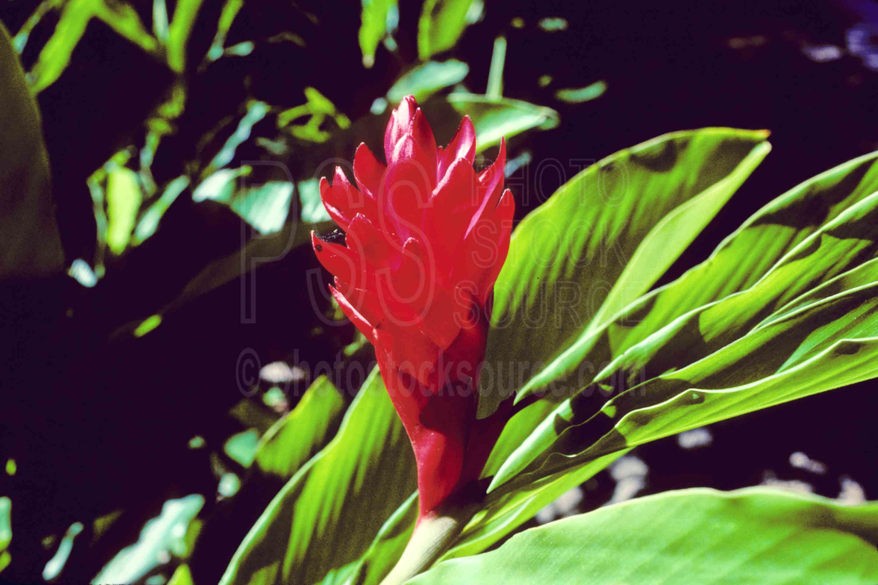 Photo of red ginger flower by photo stock source flower waimea red ginger flowergingerred gingerplantusasflowersplants izmirmasajfo