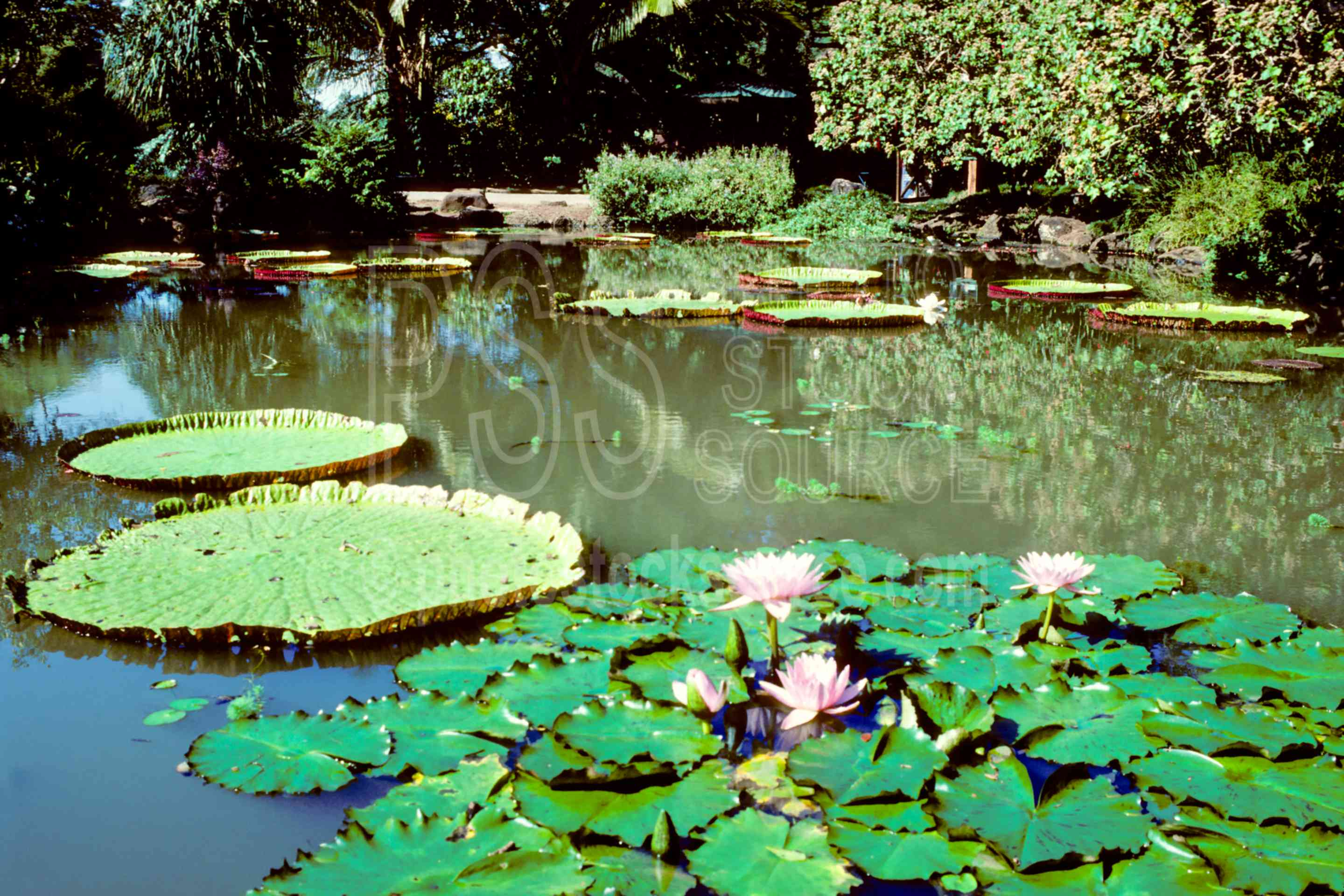 Water Lilies,lily pad,water lily,usas,flowers,plants
