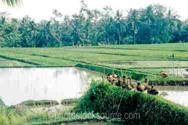 Photo of Rice Field Ducks