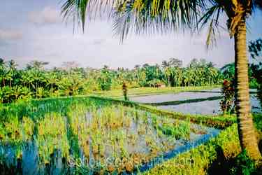 Rice Fields - Canals and walkways among the rice fields